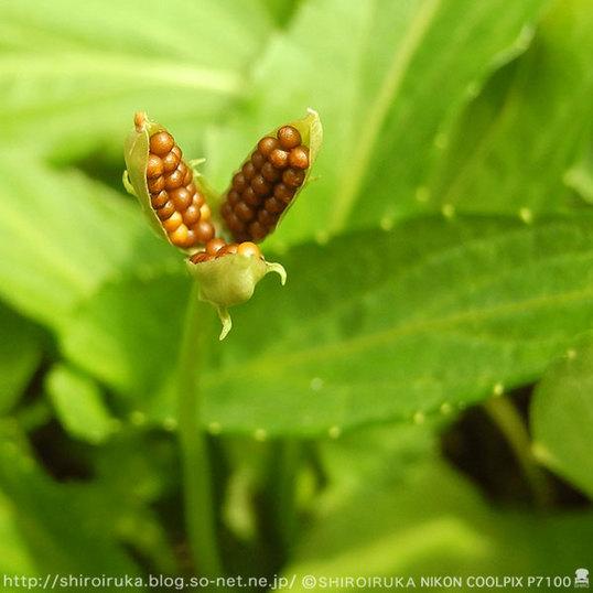 スミレの種06.jpg