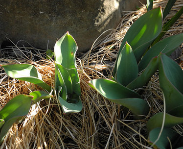 Tulip201503.jpg