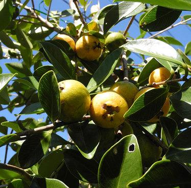 Yellow-strawberry-guava01.jpg